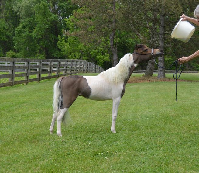 Fallen Ash Farm|Miniature Horses For Sale|Alexandria Ohio